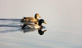 Para kaczki pływa w kierunku powstającego słońca Obraz Royalty Free