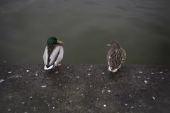 Para kaczki siedzi wpólnie jak stara para małżeńska obraz stock