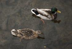 Para kaczki unosi się na wodzie Obraz Royalty Free