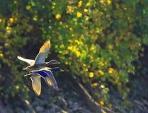 PARA kaczki W locie fotografia royalty free