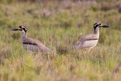 Para kamienia Curlew zagrażający Australijski ptak (Esacus magnirostris) Zdjęcia Stock