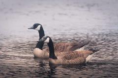 Para Kanadyjskie gąski pływa w mgle fotografia stock