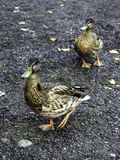Para Kanadyjskie kaczki Zdjęcie Royalty Free