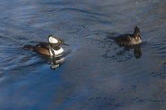 Para Kapturzaste nurogęsi Pływa w Zimnej Rozkisłej zimy rzece Zdjęcie Stock