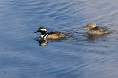 Para Kapturzaste nurogęsi Pływa w Zimnej Rozkisłej zimy rzece Fotografia Stock