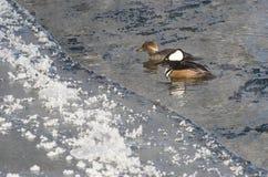 Para Kapturzaste nurogęsi Pływa w Zimnej Rozkisłej zimy rzece Obrazy Royalty Free