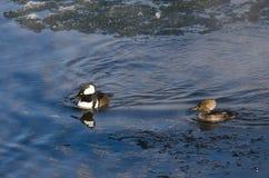 Para Kapturzaste nurogęsi Pływa w Zimnej Rozkisłej zimy rzece Obraz Royalty Free