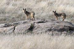 Para kojoty na skała Obrazy Royalty Free