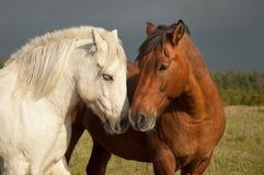 Para konie pokazywać afekcję Obraz Royalty Free