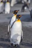 Para królewiątko pingwiny Fotografia Royalty Free