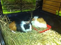 Para króliki doświadczalni Fotografia Stock