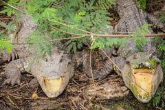 Para krokodyla czekanie dla ofiary obraz royalty free