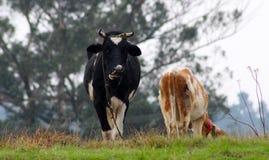 Para krowy Zdjęcie Stock