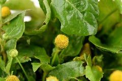 Para kryddkrasse, tandvärkväxt, tandvärkväxt, växt för Brasilien kryddkrassetandvärk, Pellitory, fläckblomma arkivbild