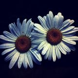 Para kwiat Obraz Royalty Free