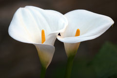 para kwiat Zdjęcia Stock