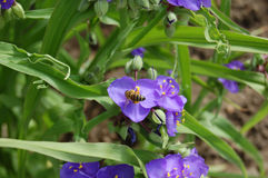 Para la miel púrpura Abeja en las flores 1 Foto de archivo libre de regalías