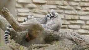 Para lemurów delikatnie spojrzenia po each inny zbiory
