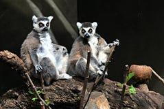 Para lemury Zdjęcia Stock