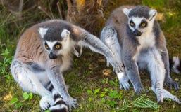 Para lemury siedzi na trawie zdjęcia stock