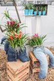 Para los vaqueros de la decoración rellenos con bromelias en un invernadero en T Imagenes de archivo