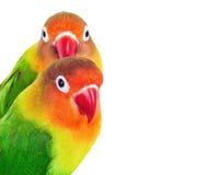 Para lovebirds Zdjęcia Royalty Free
