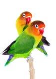 Para lovebirds Fotografia Royalty Free
