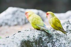 Para Lovebirds (Agapornis) Zdjęcie Royalty Free