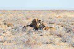 Para lwów łgarski puszek na ziemi w krzaku Przyroda safari w Etosha parku narodowym, główna atrakcja turystyczna w Nami Obrazy Stock