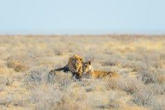 Para lwów łgarski puszek na ziemi w krzaku Przyroda safari w Etosha parku narodowym, główna atrakcja turystyczna w Nami Fotografia Royalty Free