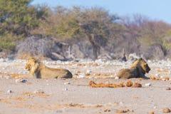 Para lwów łgarski puszek na ziemi w krzaku Przyroda safari w Etosha parku narodowym, główna atrakcja turystyczna w Nami Zdjęcie Stock