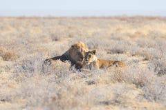 Para lwów łgarski puszek na ziemi w krzaku Przyroda safari w Etosha parku narodowym, główna atrakcja turystyczna w Nami Zdjęcie Royalty Free
