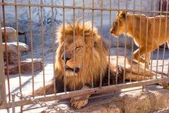 Para lwy w niewoli w zoo za barami Władza i agresja w klatce Zdjęcia Royalty Free