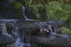 Para męski i żeński arlekin nurkuje Histronicus Histronicus na skałach Zdjęcia Stock