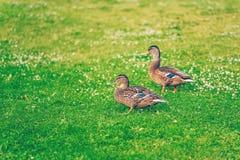 Para męski mallard nurkuje łasowanie trawy w parku Fotografia Royalty Free