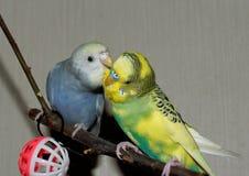 Para młoda Budgeigar papuga siedzi na gałąź i drapa each inny zdjęcie royalty free