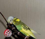 Para młoda Budgeigar papuga siedzi na gałąź i drapa each inny obraz stock