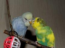 Para młoda Budgeigar papuga siedzi na gałąź i drapa each inny obrazy stock