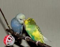 Para młoda Budgeigar papuga siedzi na gałąź i drapa each inny obraz royalty free
