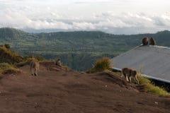Para małpy w otwartej naturze Na Vulcan Batur Obrazy Royalty Free