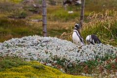 Para Magellanic pingwiny stoi przy ogrodzeniem Zdjęcia Royalty Free