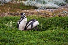 Para Magellanic pingwiny w kwiatonośnej tundrze Zdjęcia Stock