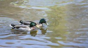 Para mallard nurkuje dopłynięcie na jeziorze Zdjęcia Stock