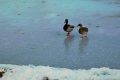 Para Mallards na lodowatym stawie Zdjęcia Stock