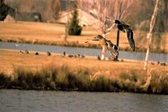 Para mallards w lota lądowaniu na stawie Zdjęcie Stock