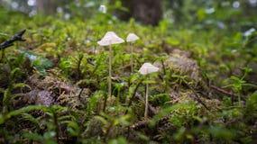 Para malutkie pieczarki na mech w lesie Obrazy Stock