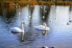 Para matujący łabędź i inni wodni ptaki Obraz Royalty Free