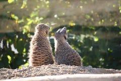 Para meerkat fotografia stock