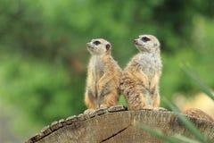 Para meerkats Obrazy Stock