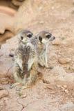Para meerkats Fotografia Stock